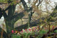tulip14april151.jpg